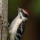 Juvenile Downy Woodpecker by Debbie Oppermann