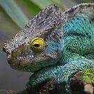 Parson's Chameleon by Leanne Allen