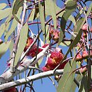 Beautiful large Red & Yellow flowers on Silver Princess, eucalyptus caesia by Rita Blom