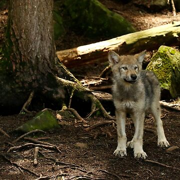 Timber wolf pup by locustgirl