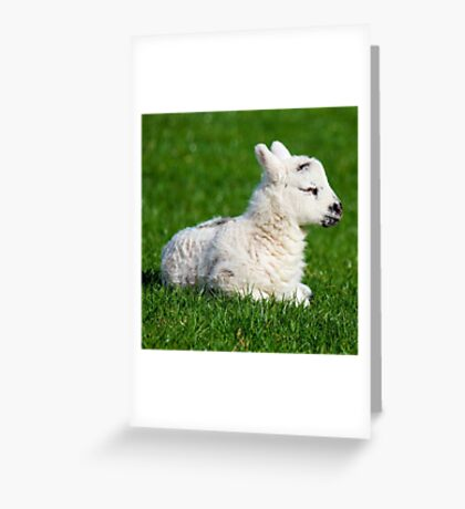 A Sleepy Newborn Lamb In A Field Greeting Card