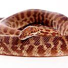 Stimsons Python by Tim Miller