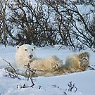 Yoga Bear snow on his face by Owed To Nature
