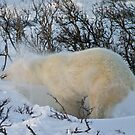 Yoga Bear shake snow by Owed To Nature
