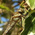 Libelle von trish725