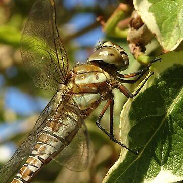 Dragonfly by trish725