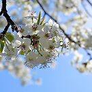 Blooming Callery Pear Tree by Dawne Dunton