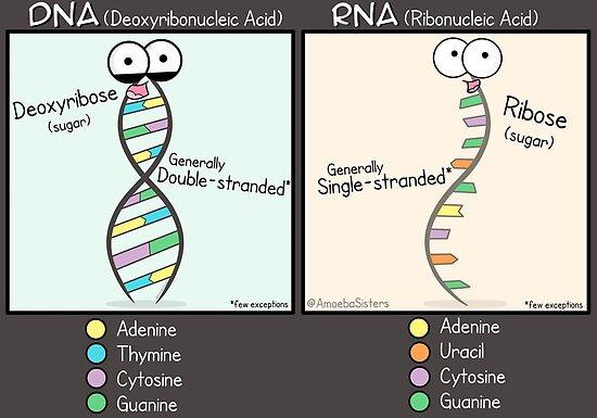 DNA vs RNA Poster by amoebasisters