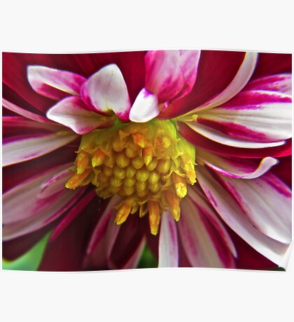 Pink Striped Flower with Yellow Buds Poster
