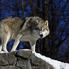 Arctic Wolf on Rock Cliff by Jim Cumming