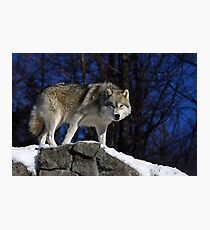 Arctic Wolf on Rock Cliff Photographic Print