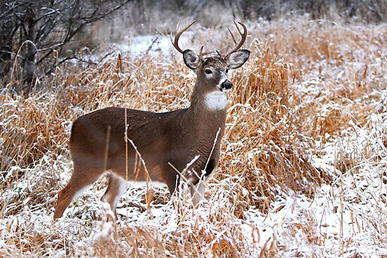 A Regal Stance - White-tailed Buck by Jim Cumming