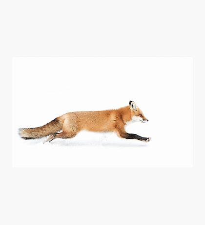 Fox on the run - Algonquin Park Photographic Print