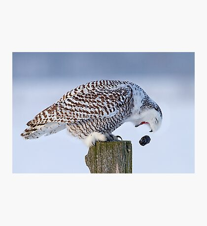 Cough it up buddy - Snowy Owl Photographic Print