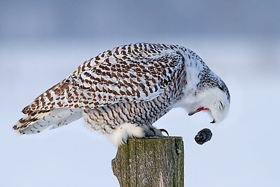 Cough it up buddy - Snowy Owl by Jim Cumming