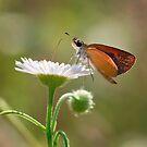 Least Skipper Butterfly Feeding  by David Lamb
