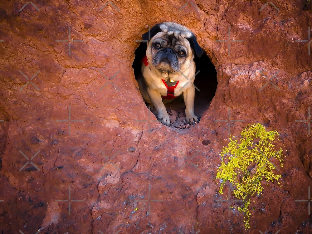 The North American Cubby-Dwelling Pug by pugventurephoto