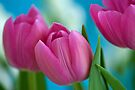 Pink Tulips by Extraordinary Light