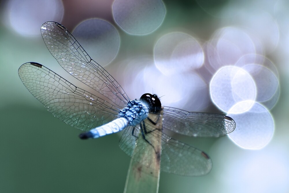 Macro Dragonfly in Bokeh  by KimWrightPhotos