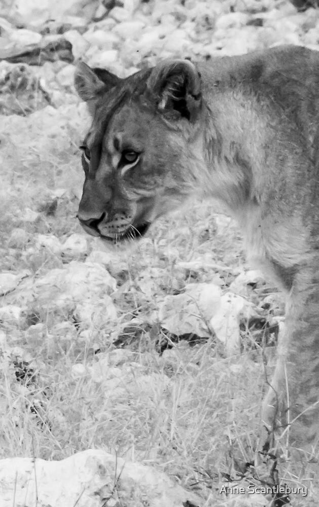 Lion head. by Anne Scantlebury