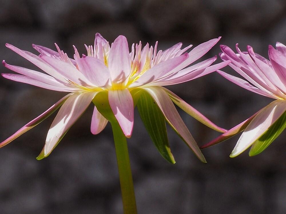 Lily  by DerekEntwistle