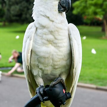 Friendly Sulphur-Crested Cockatoo by rossacampbell