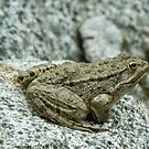 Frog on a Rock  by Martina Nicolls