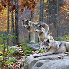 Timber Wolves in Autumn by Jim Cumming