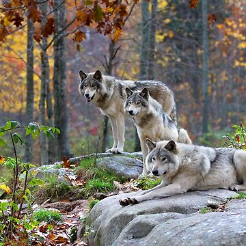 Timber Wolves in Autumn by darby8