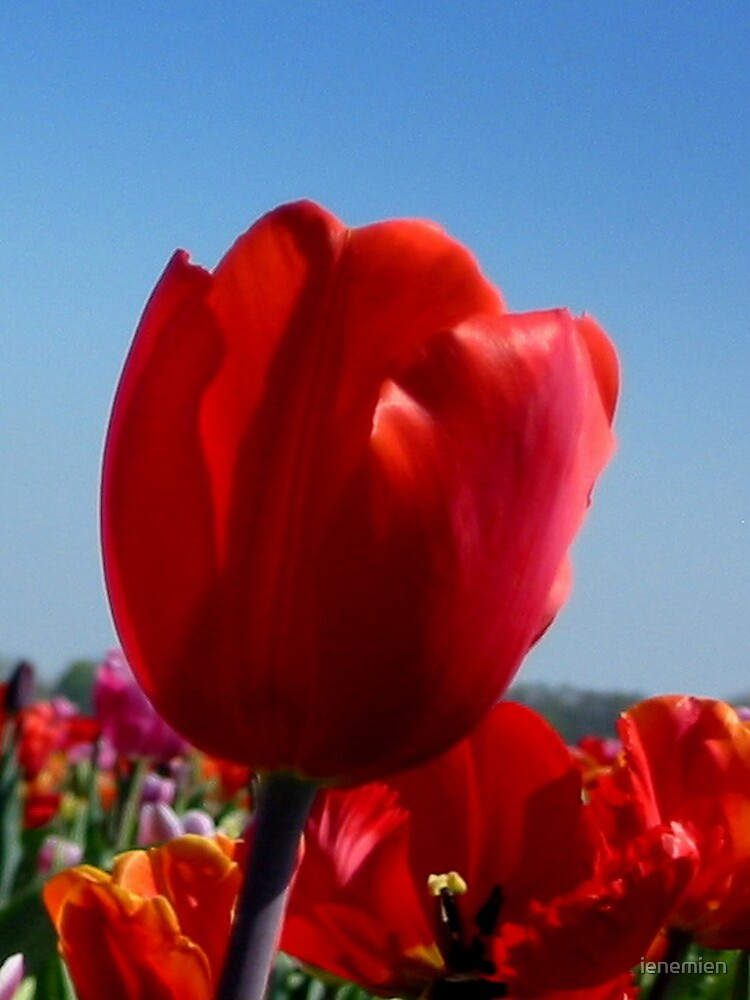 Happy Red Tulip by ienemien