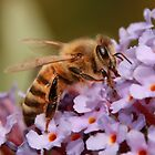 BUSY Honey Bee on Budlea by AnnDixon