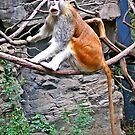 Patas Monkey by MaluC