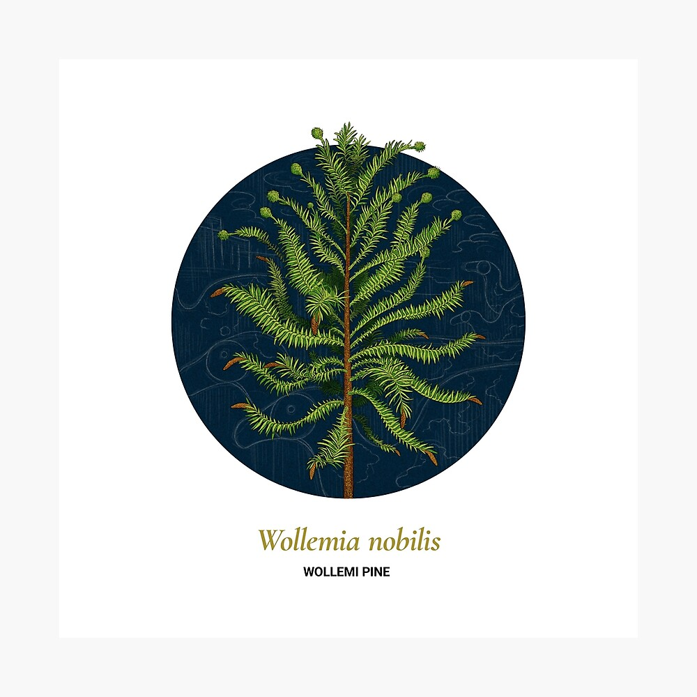 The Circles of Life: Wollemi Pine Photographic Print