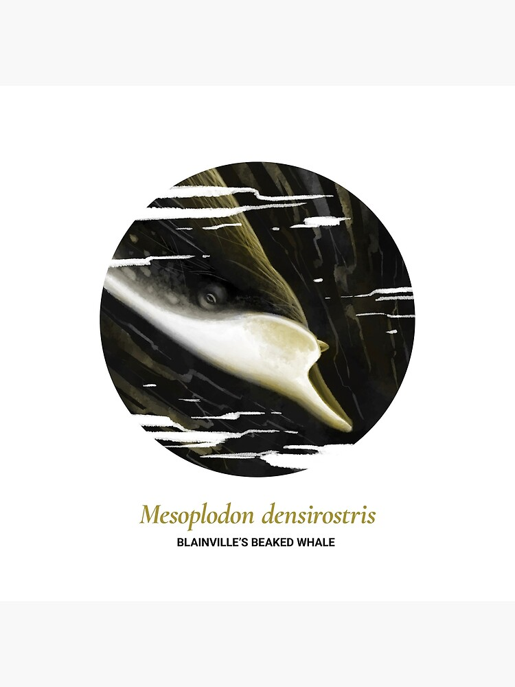 The Circles of Life: Blainville's Beaked Whale by franzanth