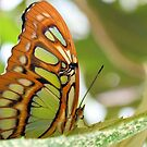 The Malachite Butterfly by Dawne Dunton