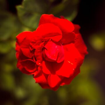 Red Rose by leandrojsj