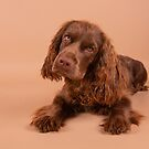Sussex Spaniel Puppy Posing by SMiddlebrook