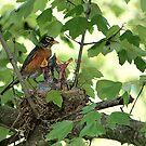 American Robin Family by Lisa Putman