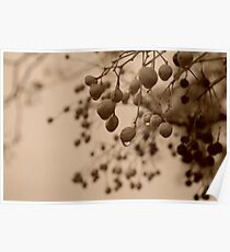 Seed Pod Silhouette in Sepia. Poster