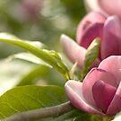 Pink Magnolia by Amanda White