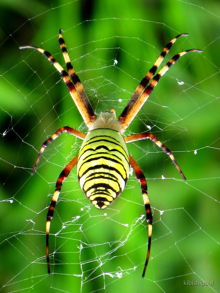 Spider, spider burning bright ..... by kibishipaul