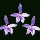 Waxlip Orchids  by Bev Pascoe