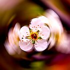 Plum blossom by indiafrank