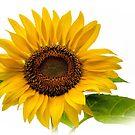 Sunflower 4 by Tina Hailey