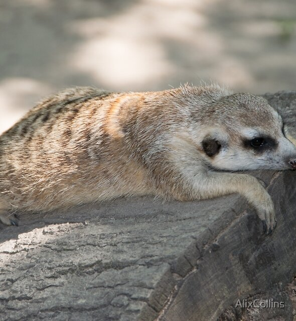Meerly a MeerKat Nap..... by AlixCollins