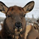 Cow Elk by Donna Ridgway