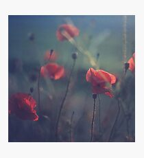 Red wild flowers poppies on hot summer day in blue tones Hasselblad square medium format film analogue photo Photographic Print