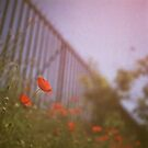 Poppies growing up fence in hot summer faded vintage retro square Hasselblad medium format film analog photo by edwardolive