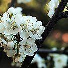 Blossom of the Cherry Plum Tree by Bev Pascoe