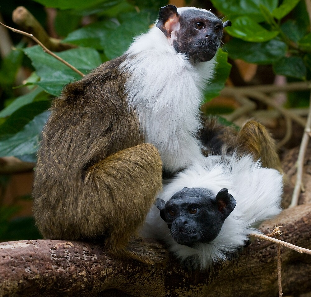 Quot Pied Tamarin Quot By Michael Hadfield Redbubble